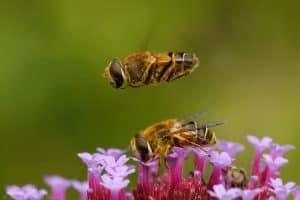 Blinde bijen