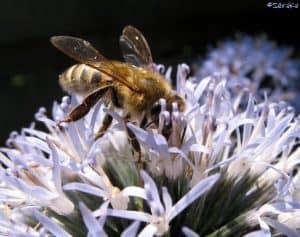 Honingbij op bloem