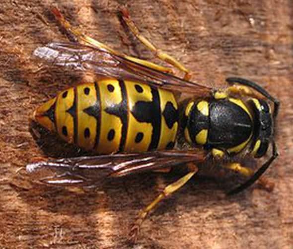 queenbee-wespenbestrijding